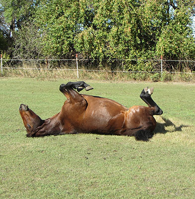 horse laying upside down in a field